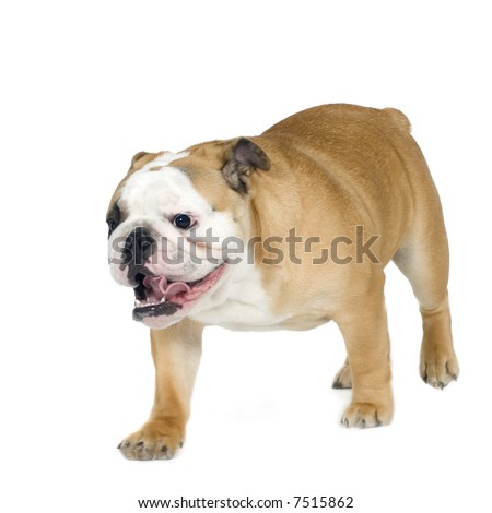 english Bulldog cream (6 months) in front of a white background