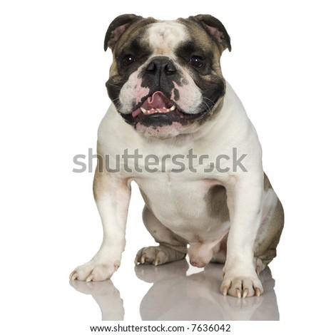 english Bulldog cream (3 years) in front of a white background