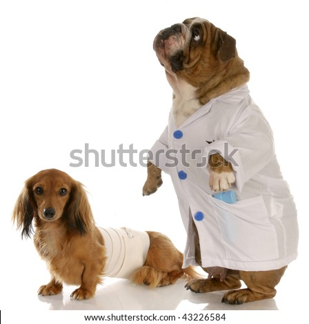 english bulldog doctor or vet with wounded dachshund - stock photo