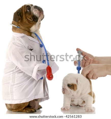 english bulldog doctor standing beside puppy getting vaccinated - stock photo