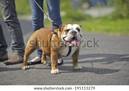 English Bulldog dog puppy outdoors on a lead - stock photo