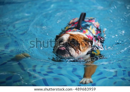 English Bulldog, dog swimming