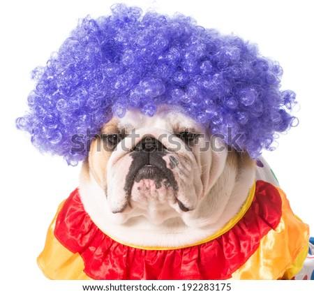 english bulldog dressed as a clown on white background - stock photo