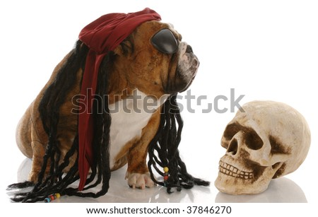 english bulldog dressed as a pirate for halloween - stock photo