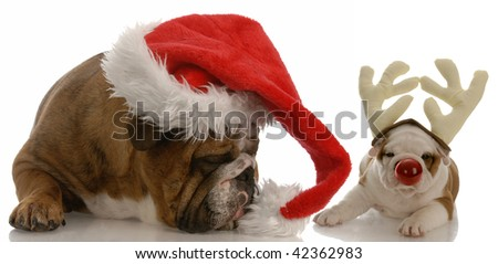 english bulldog dressed as santa and rudolph puppy - stock photo