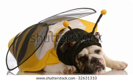 english bulldog dressed up as a bee on white background - stock photo