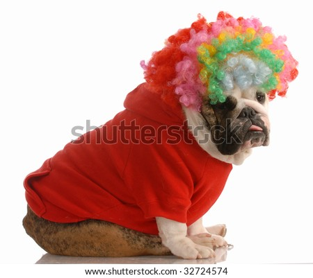 english bulldog dressed up as a clown - stock photo