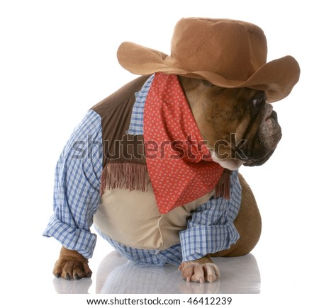 english bulldog dressed up as a cowboy with reflection on white background - stock photo