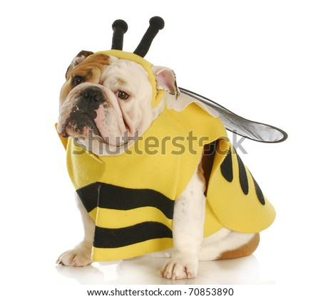 english bulldog dressed up like a bee with reflection on white background - stock photo
