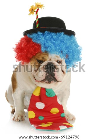 english bulldog dressed up like a clown with reflection on white background - stock photo