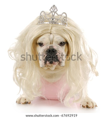 english bulldog dressed up like a princess with reflection on white background - stock photo