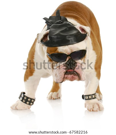 english bulldog dressed up like a tough biker with leather skull cap on white background - stock photo
