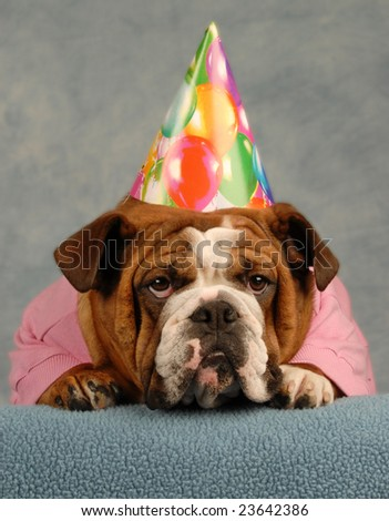 english bulldog dressed up pink sweater and birthday hat