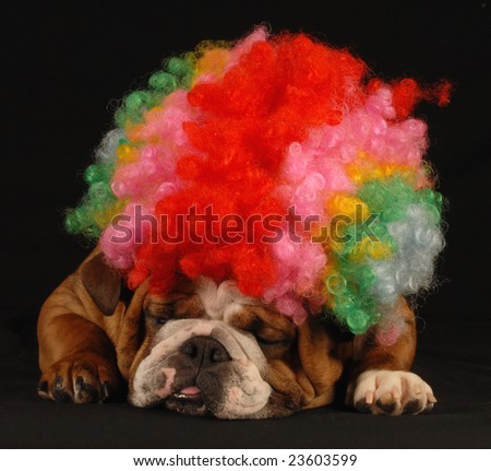 english bulldog dressed up with clown wig on black background