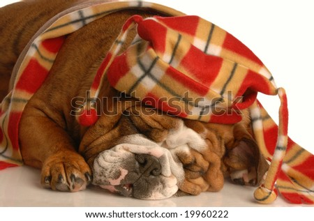 English bulldog dressed up with trendy winter hat and scarf - stock photo
