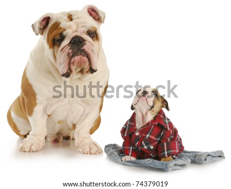 english bulldog father and son on white background - stock photo