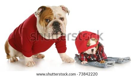 english bulldog father and son wearing clothing on white background - stock photo