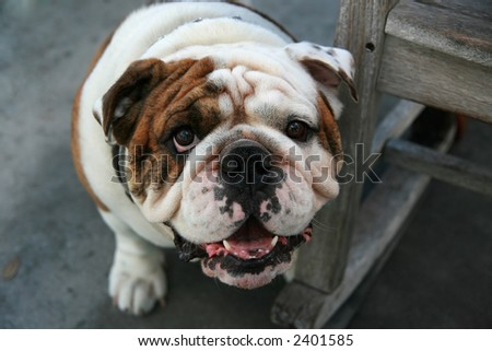 English Bulldog guards a rocking chair - stock photo