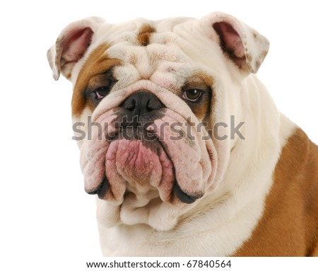 english bulldog head portrait on white background - stock photo