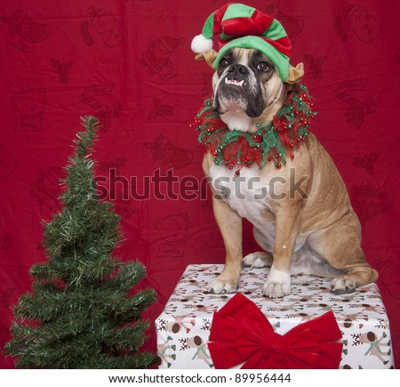 English Bulldog Holiday Elf with present and tree portrait