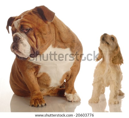 english bulldog ignoring howling yapping spaniel puppy - stock photo
