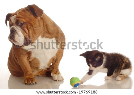 english bulldog ignoring kitten playing with ball beside her