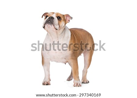 English Bulldog in front of a white background - stock photo