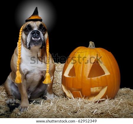 English Bulldog in witch costume with Jack-O-Lantern - stock photo