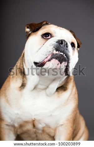English bulldog isolated on dark grey background. Studio portrait. Funny dog.