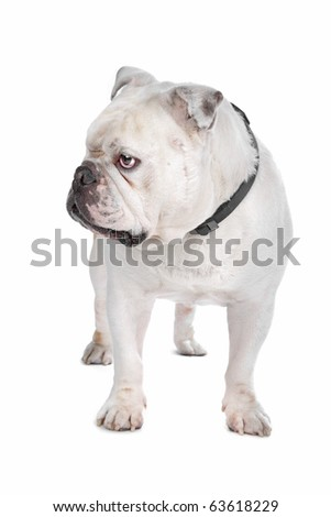 English Bulldog isolated on white - stock photo