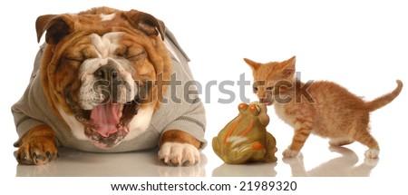 english bulldog laughing at small kitten kissing a toad - stock photo
