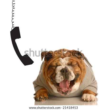 english bulldog laughing hysterically with phone dangling beside ear - stock photo