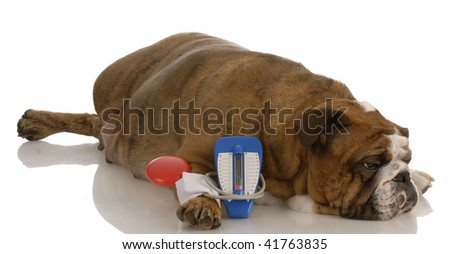 english bulldog laying beside toy blood pressure gauge with sorrowful expression - stock photo