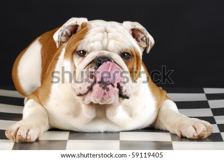 english bulldog laying down licking lips on black and white background