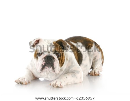 english bulldog laying down looking at viewer with reflection on white background