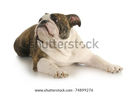 english bulldog laying down looking up on white background
