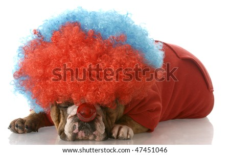 english bulldog laying down wearing clown wig and nose with reflection on white background - stock photo