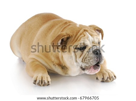 english bulldog laying down with mouth open on white background - stock photo