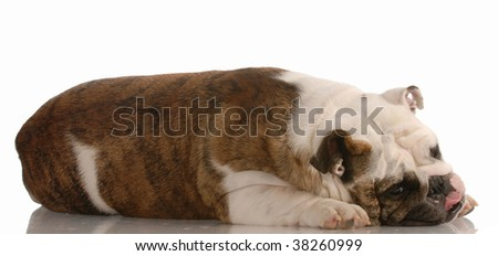 english bulldog laying down with tongue sticking out - stock photo