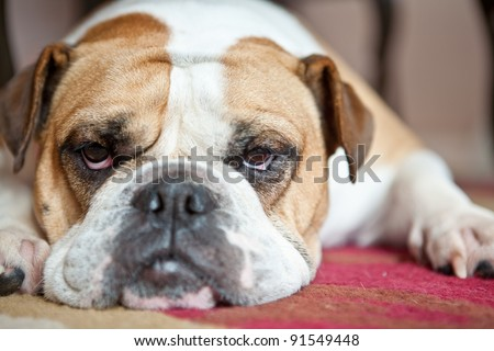 English Bulldog laying on a red and cream carpet. She is looking at the camera. Typical Bulldog boredom..