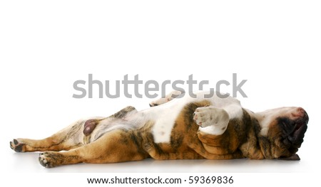 english bulldog laying on back stretched out sleeping with reflection on white background - stock photo