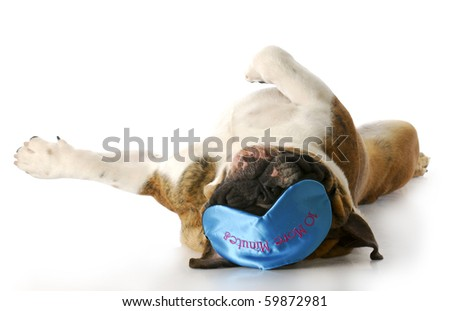 english bulldog laying on back with sleep mask that says - ten more minutes with reflection on white background - stock photo