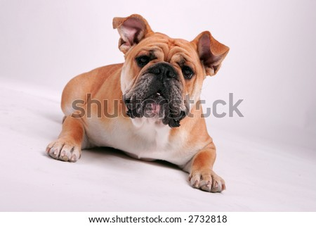 English Bulldog laying on her stomach looking at the camera - stock photo