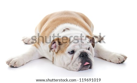 English bulldog laying stretched over floor, high key - stock photo