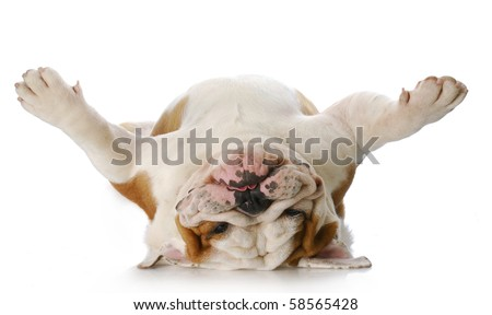 english bulldog laying upside down on his back with reflection on white background - stock photo