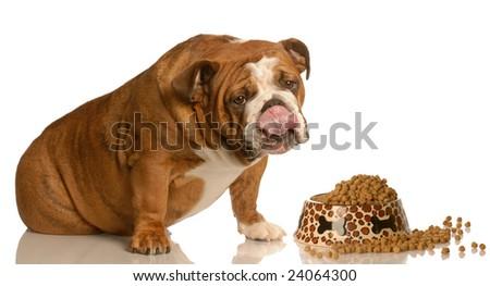 english bulldog licking lips sitting in front of large bowl of dog food - stock photo