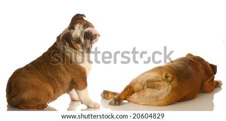 english bulldog looking at another dogs backside with funny expression isolated on white background - stock photo