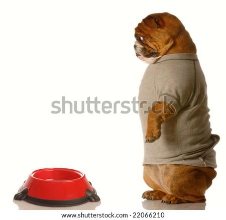 english bulldog looking down at empty dog food dish - stock photo
