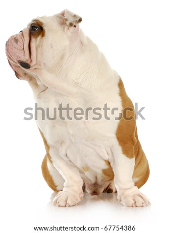 english bulldog looking off to the side with reflection on white background