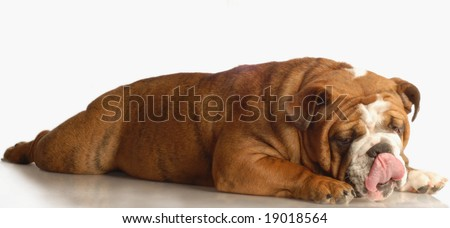 english bulldog lying down with her tongue sticking out - stock photo